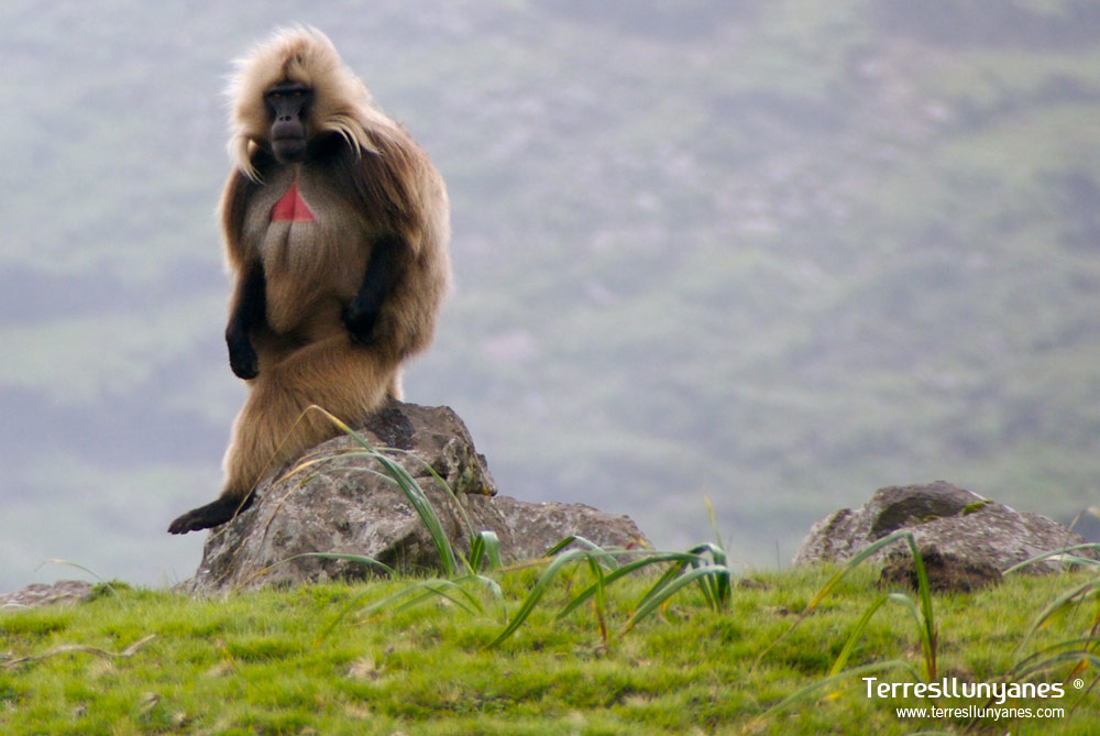 Viajes Etiopía. Gelada
